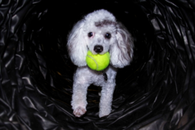 Miniature Poodle with tennis ball