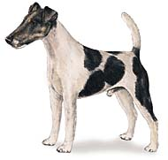 Fox Terrier - Smooth