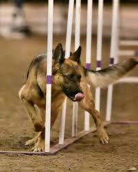 Agility 1B - Introduction to Weave Poles