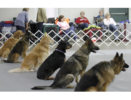 New Saturday Advanced Dog Obedience Course